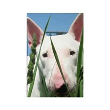 Cute English Bull Terrier Hiding  Rectangle Magnet