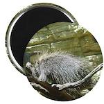 porcupine 2 Magnet