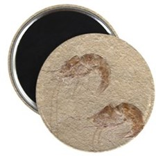 "Pair of Fossilized Shrimp 2.25"" Magnet (10 pack)"