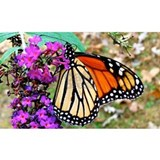 Monarch butterfly Wall Decals