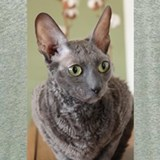 Cornish rex blue Pajamas & Loungewear