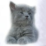 Cat grey Polos