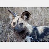 African painted dog Sweatshirts & Hoodies