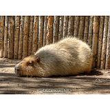 Capybara Pajamas & Loungewear