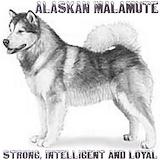 Alaskan malamute kids wear T-shirts
