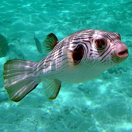 Striped puffer fish shower for Puffer fish for sale