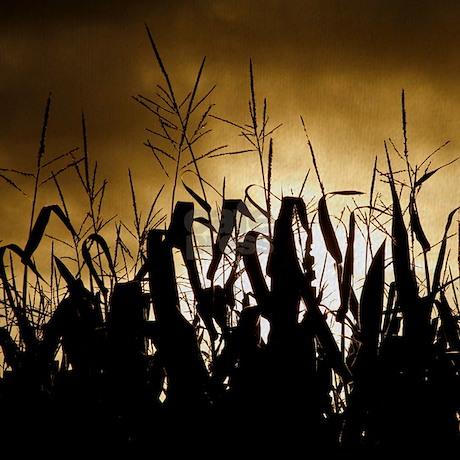 Silhouette Of Corn Field At Sunrise Stock Photo 57212341 ...   Cornfield Silhouette