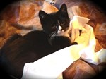 Mischief Kitten