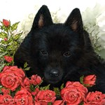 Schipperke and Roses