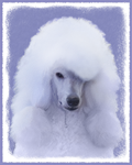 Poodle-Multiple Illustrations