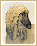 Afghan Hound- Multiple Illustrations