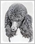 Standard Poodle (Parti)