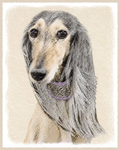 Saluki-Multiple Illustrations