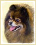 Pomeranian (Black and Tan)