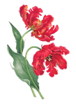 Redoute Red Parrot Tulips