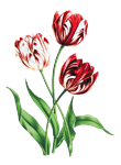Redoute Red & White Tulips
