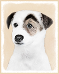 Parson Jack Russell Terrier-Multiple Illustrations