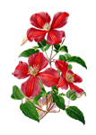 Christmas Red Clematis