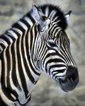 Zebra Print Duvets and Blankets