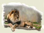 Lion Lovers Print Duvets and Blankets