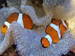 Clown Fish Coral Reef