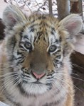 Stormy the Tiger Cub