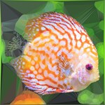 Orange & White Striped Fish