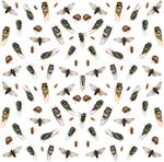 A lot of Cicadas