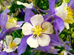 Purple White Columbine Floral