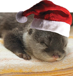 Christmas Otter wearing a Santa Claus Hat