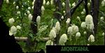 Montana- Bear Grass