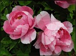 Pink Peonies Floral
