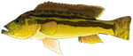 Brownspot Largemouth Cichlid