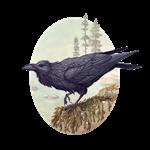 Raven of the North Atlantic