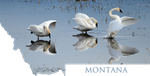 Montana-Trumpeter Swans