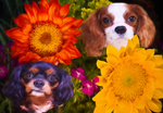 Two Cavalier King Charles Spaniels With Sunflowers