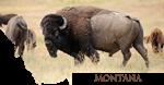 Montana- Bison