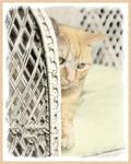 Yellow Tabby Cat