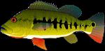 Royal Peacock Bass
