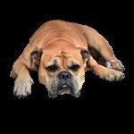 Bulldog dog photo