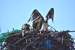 Family of Osprey