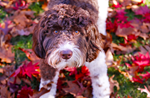 Labradoodle In Autumn