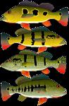 4 peacock bass