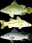Snook, Nile Perch, and Barramundi