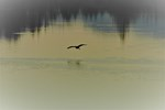 Heron Flight at Night