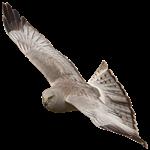Soaring Harrier Designs