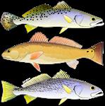 3 West Atlantic Ocean Drum Fishes