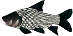 Giant carp barb