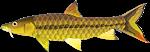 Golden Mahseer
