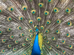 Peacock fanning its tail